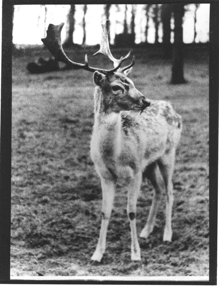 Roe Deer Harry Benson