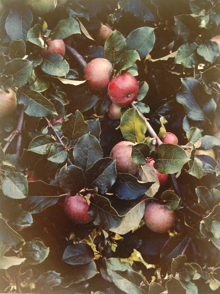 Eliot Porter (United States, 1901-1990), Apples, Great Spruce Head Island, Maine, 1942, dye transfer print, 15 15:16 x 12 1:8 inches. Gift of Maine Coast Heritage Trust, 2017.4.2